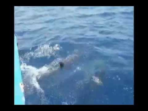 Dolphins at Catcha Falling Star, Negril on the Caribbean Sea 1