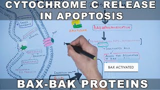 Mechanism of Cytochrome C Release from Mitochondria