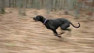 Slow Motion of Great Dane Jessie Running Fast 30 mph 48 km/h