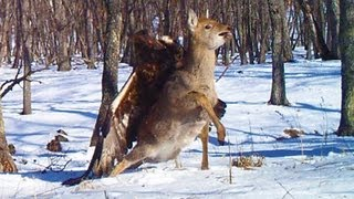 GOLDEN EAGLE ATTACKS AND CATCHES DEER