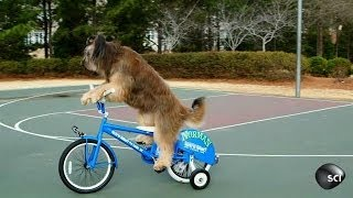 This Dog Can Sit, Fetch, Ride a Bike | Outrageous Acts of Science
