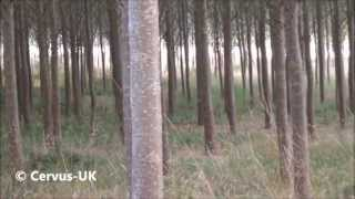 Roebuck to the cherrywood call