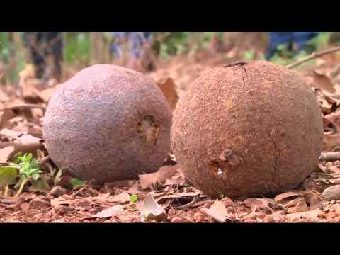 Castanheira como alternativa para o reflorestamento em RO. - Gente de Opinião