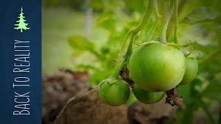 Did You Know That Potato Plants Have Poisonous Fruit?!