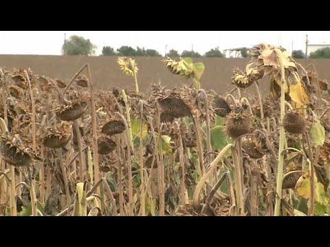 Ρουμανία: Καταστροφή χιλιάδων καλλιεργειών λόγω ξηρασίας…