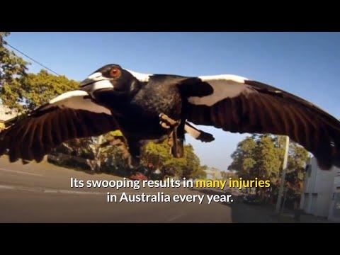Magpie monster shot dead in Sydney