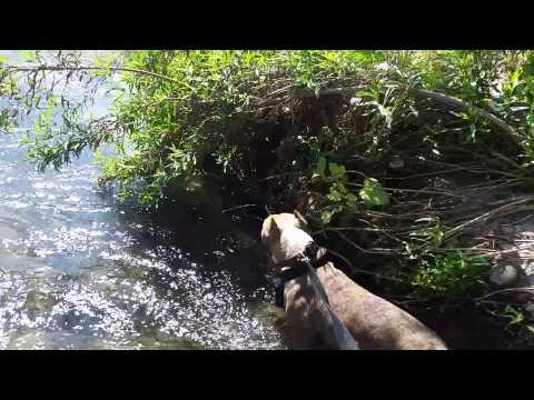 Pit bull walking in Santa Ana river in Riverside ca