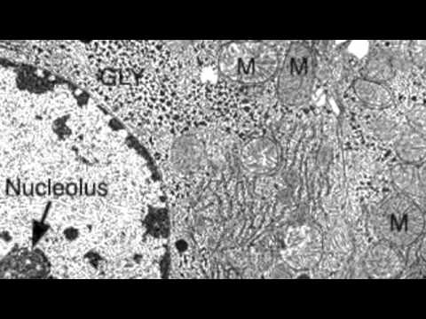 2.3.3 Identify Structures From Electron Micrographs Of Liver Cells Mp3