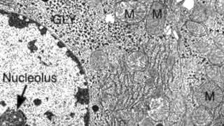 2.3.3 Identify structures from electron micrographs of liver cells