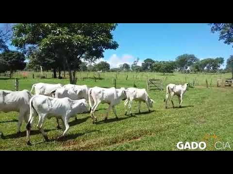 Lote0339 - 13 Bezerras Nelore P.O. em Bonfinópolis - GO
