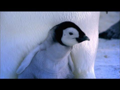 Beautiful Nature: Penguin Chicks Hatching