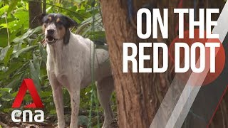 CNA   On The Red Dot   S8 E32: Our lives with dogs - Singapore's street dogs