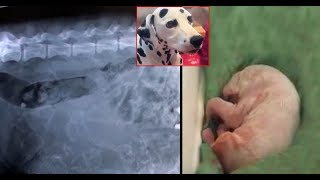 When This Dalmatian With A Giant Belly Gave Birth, They Realized The Vet Had Made A Big Mistake.