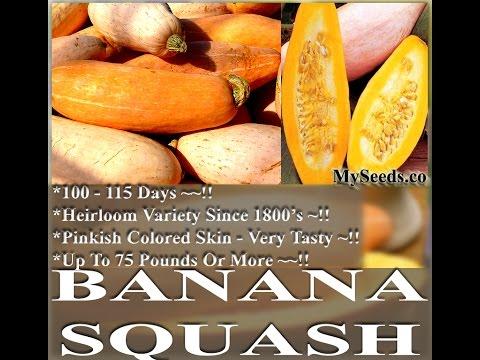 , title : 'PINK BANANA SQUASH SEED - HEIRLOOM VARIETY,  SEEDS on  www.MySeeds.Co
