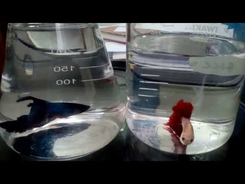 Video Rahasia dibalik memelihara ikan cupang di meja kerja