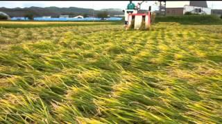 倒伏した稲の刈り取り