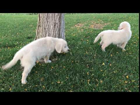 Snowys Puppies in Valley Center