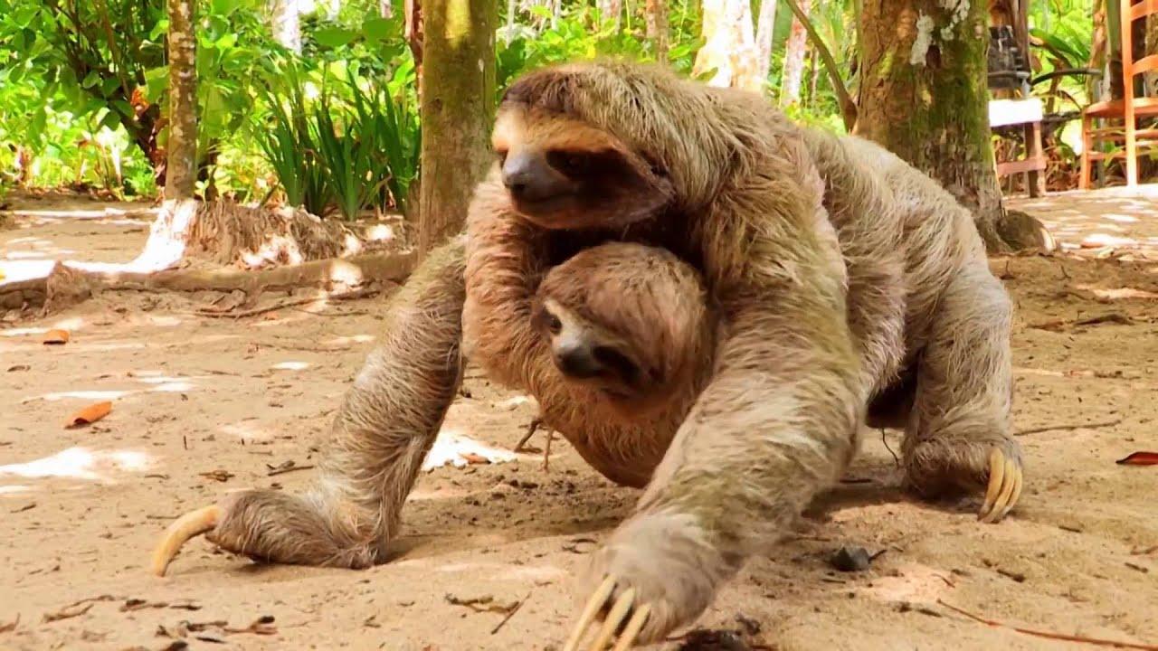 Costa Rica: Faultiere Affen (0:55)