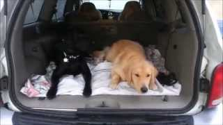 Hyper One Year Old Golden Retriever Off-Leash Obedience- Take the Lead K9 Training