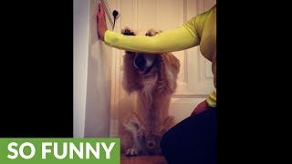 Smart Golden Retriever Plays Hide-and-seek With Owner