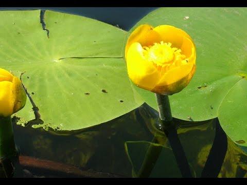Желтая кубышка и белая кувшинка (водная лилия)