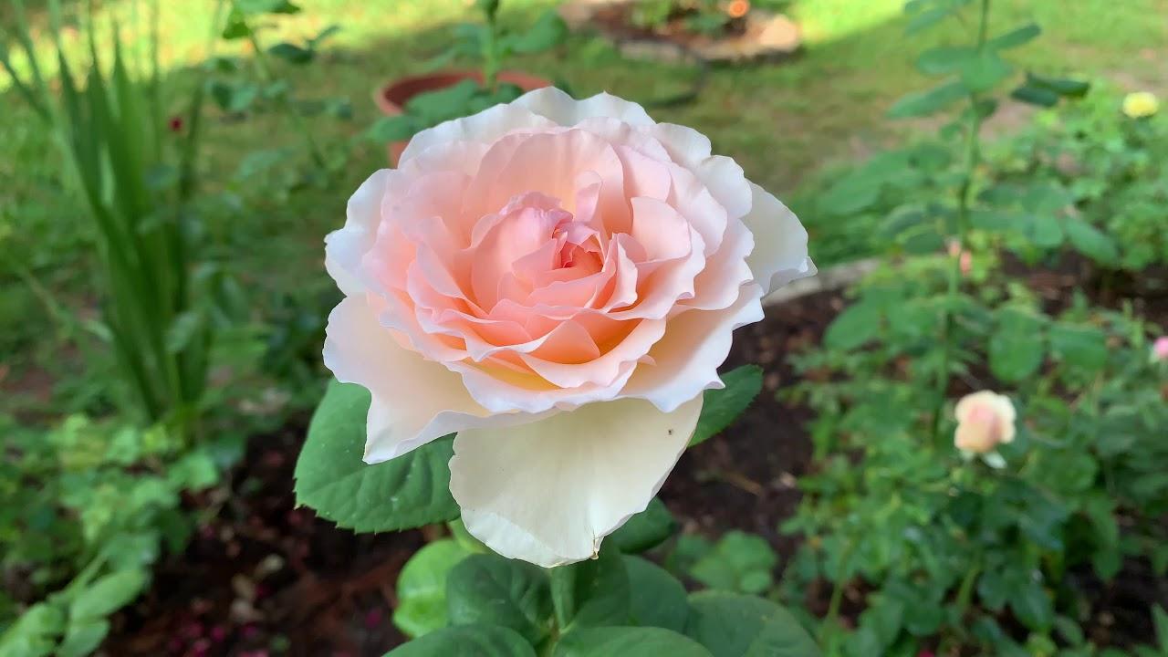 Rose - Princesse Charlène de Monaco
