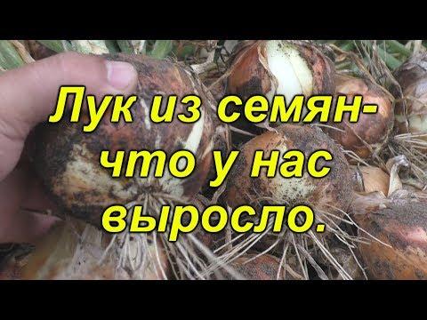 Лук из семян- уборка трёх хороших сортов!