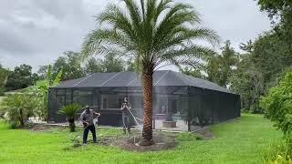 Florida Fancy Sylvester Palm