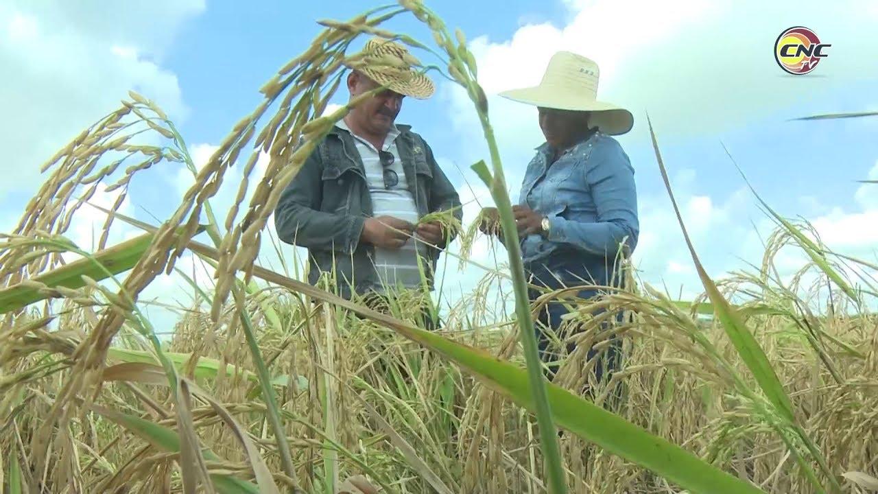 Empresa Agroindustrial de granos José Manuel Capote Sosa destaca por sus aportes crecientes al programa arrocero en Cuba