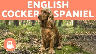 ENGLISH COCKER SPANIEL 🐶 Caring for a Playful Breed