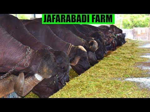 Jafarabadi Buffalo Farm | Nagori Dairy Farm Bharuch