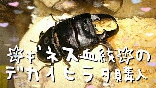 ☆ギネス血統☆愛媛県産大型ヒラタクワガタのペアを購入しましたギネス血統本土ヒラタヒラタクワガタブリード超大型国産ヒラタ