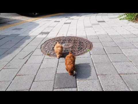 Teacup Poodle - Philip In Darker Brown