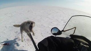 ТРЕЙЛЕР Степные охотники 4 2, охота на волка (Wolf hunting)