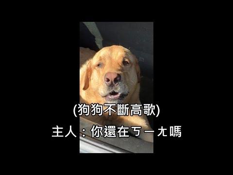 狗狗手術完後麻醉還沒退,ㄎㄧㄤ到一直唱歌讓主人笑翻