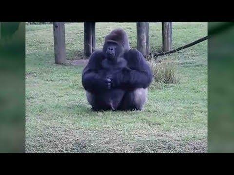 Gorilla in 'n Miami dieretuin wys vir besoekers hulle mag hom nie voer nie.