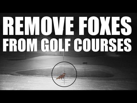 Noční lov lišky na golfovém hřišti