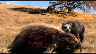 prehistoric predators giant bear