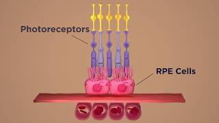 Newswise:Video Embedded nih-researchers-rescue-photoreceptors-prevent-blindness-in-animal-models-of-retinal-degeneration