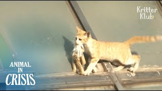 Kitten Stranded On A Roof Brings His Last Food Left, Crying Out For Help | Animal in Crisis EP81