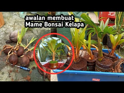 THE EASY WAY TO MAKE A MAME COCONUT BONSAI