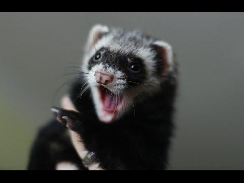 , title : 'Ferret's sounds (voice) - singing ferret