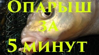 Для рыбалки как вырасти опарыш