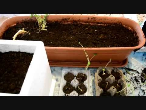 Pre-germinazione e semina, in casa.