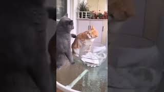 Cat Fighting Funny Video | Cute Cat Video 2021 | Cat Meowing Video fpv #Shorts