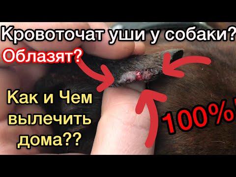Чем лечить уши у собаки: кровоточат, облазят - 100% действующий метод как вылечить уши