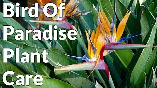 Bird Of Paradise Plant Care Tips