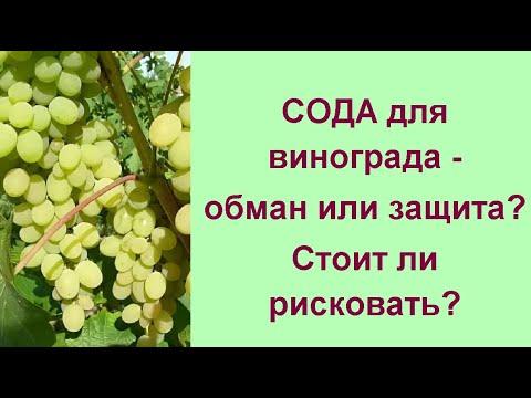 Правильные меры против серой гнили на винограде//Виноград, болезни, лечение и профилактика