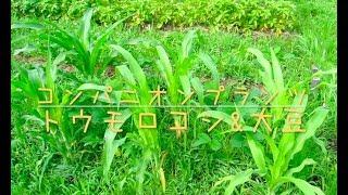コンパニオンプランツ「トウモロコシと大豆」