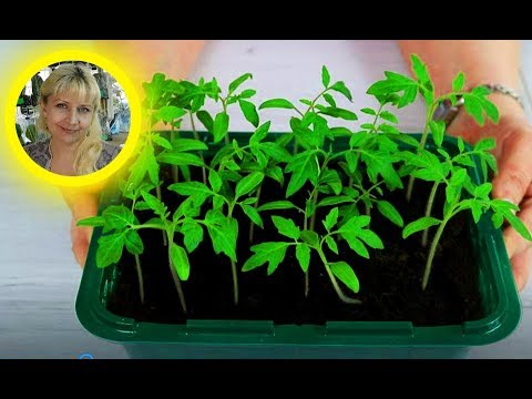 Томаты ! Правильный посев семян на рассаду !